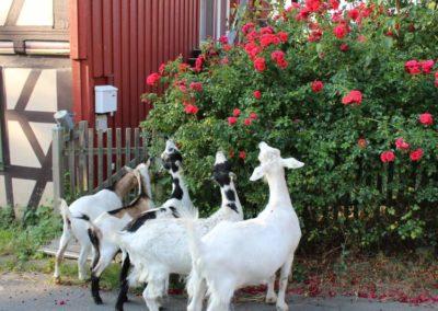 An Nachbars Rosen